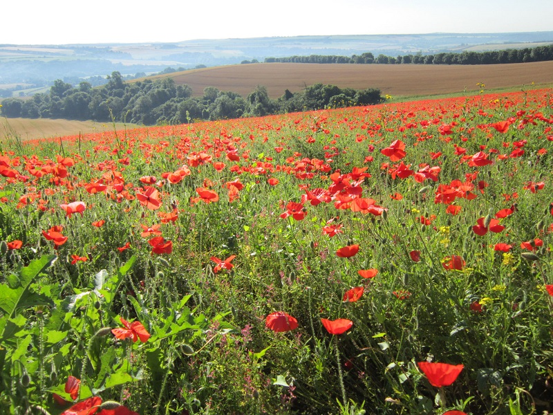 Poppies over the South Downs
